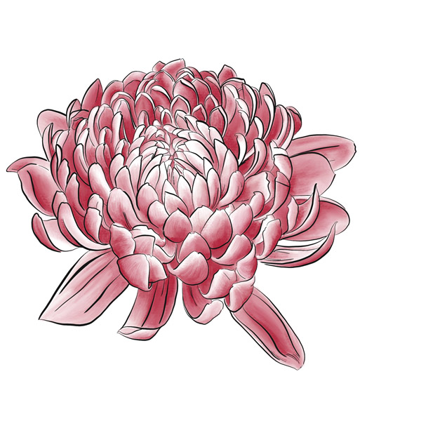 Chrysantheme - Digitale Illustration einer roten Blüte.