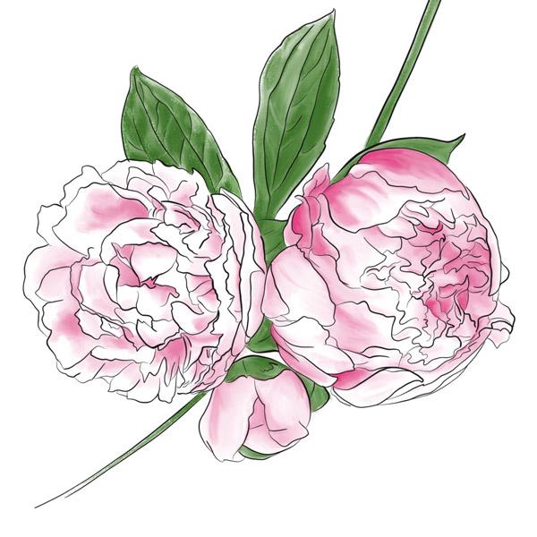 Wallpaper mit einer digitalen Illustrationen von pinken Pfingstrosen.