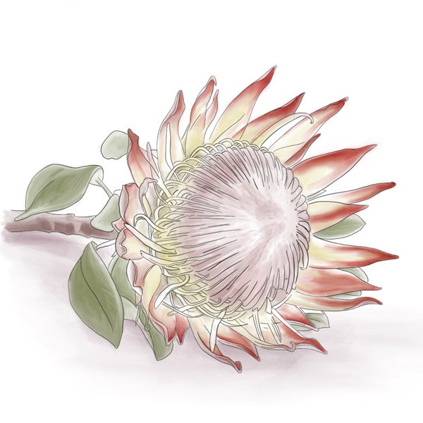 Digitale Illustration einer liegenden Protea Blüte